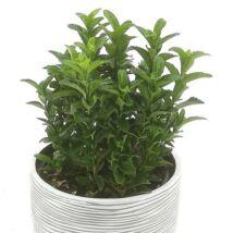 Euonymus japonicus 'Green spire' / Oszlopos japán kecskerágó