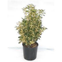 Euonymus japonicus 'Aureopictus' / Japán kecskerágó