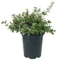 Euonymus fortunei 'Emerald Gaiety' / Ezüstlevelű kecskerágó