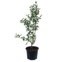 Punica granatum 'Legrelliae' / Cirmos virágú gránátalma