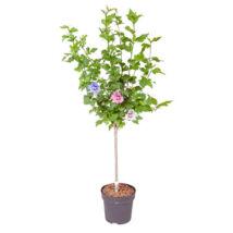 Hibiscus syriacus törzses / Mályvacserje (törzses)