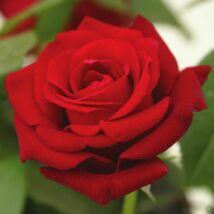 Rosa 'Ingrid Bergman' / Vörös teahibrid virágú magastörzsű rózsa