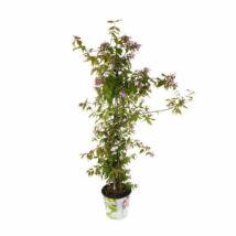 Kolkwitzia ambilis / Viráglonc
