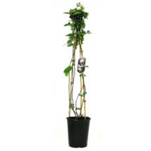 Lonicera japonica 'Halliana' / Örökzöld Japán Lonc