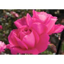 Rosa 'Maria Callas' / Rózsaszín teahibrid virágú magastörzsű rózsa