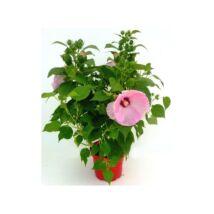 Hibiscus moscheutos / Mocsári hibiszkusz