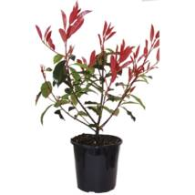 Photinia fraseri 'Little Red Robin' / Törpe korallberkenye