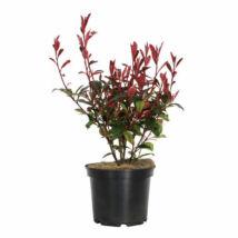 Photinia fraseri 'Carre rouge' / Korallberkenye