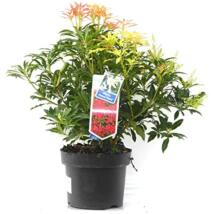Pieris floribunda 'Forest flame' / Babérhanga
