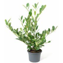 Prunus laurocerasus 'Mano' / Babérmeggy