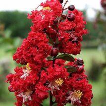 Lagerstroemia indica 'Dynamite' / Kínai selyemmirtusz (piros)