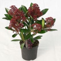 Skimmia japonica / Japán dérbabér