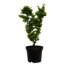 Ulmus elegantissima 'Jacqueline Hillier' / Törpe szil