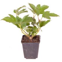 Viburnum opulus roseum / Labdarózsa