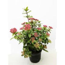Viburnum tinus 'Eve price' / Örökzöld bangita
