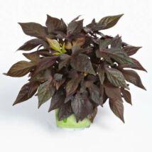 Ipomoea batatas / Édesburgonya (sötét levelű)