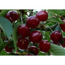 Cseresznyefa 'Bigarreau Burlat'