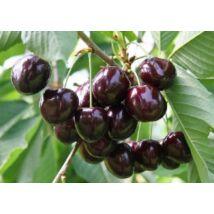 Cseresznyefa 'Szomolyai fekete'
