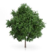 Tilia platyphyllos / Nagylevelű hárs