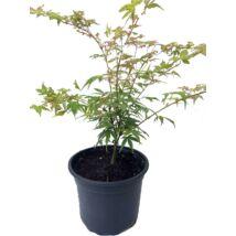 Acer palmatum 'Emerald Lace' / 'Emerald Lace' Japán juhar