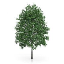 Carpinus betulus / Közönséges gyertyán