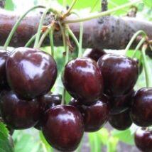 Cseresznyefa 'Krupnoplodnaja'