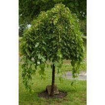Morus alba 'Pendula' / Csüngő eperfa