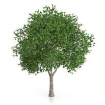 Platanus x acerfolia / Platán
