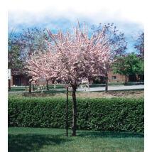 Prunus triloba 'Multiplex' / Teltvirágú babarózsa