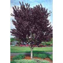Prunus cerasifera 'Woodii' / Vérszilva