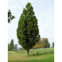 Quercus robur 'Fastigiata' / Oszlopos kocsányos tölgy