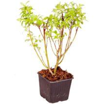 Salix gracilistyla 'Mount aso' / Rózsaszín fűz
