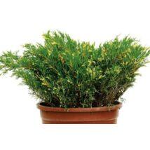 Juniperus sabina 'Variegata' / Tarka levelű nehéz szagú boróka