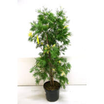 Calocedrus decurrens 'Aureovariegata' / Kaliforniai gyantásciprus