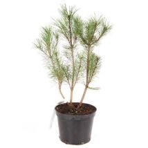 Pinus mugo var. 'Pumilio' / Párnás törpefenyő