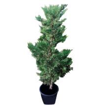xCupressocyparis leylandii 'Variegata' / Tarka levelű leylandi ciprus