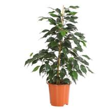 Ficus benjamina ' Danielle' / Csüngőágú fikusz