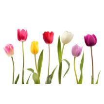 Tulipán - piros virágú, tarka levelű