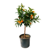 Kumquat / Citrus fortunella marginata