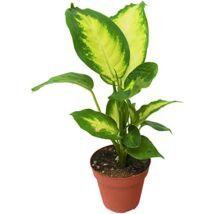 Dieffenbachia seguine Camille / Buzogányvirág