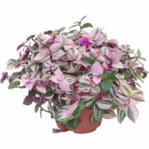 Tradescantia fluminensis 'Quadricolor' / Zebrapletyka