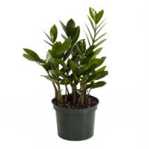 Zamioculcas zamiifolia / Agglegénypálma