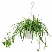 Chlorophytum comosum 'Variegatum'  függesztő kaspóban