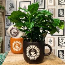 Coffea arabica / Kávécserje kaspóban