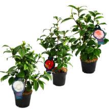 Camellia japonica / Japán kamélia