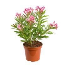 Nerium oleander / Leander