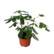 Mimosa pudica / Mimóza