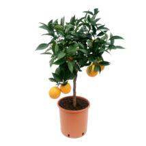 Citrus sinensis / Narancsfa