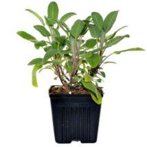 Salvia officinalis / Zsálya