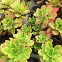 Sedum hybridum 'immergrünchen' / Örökzöld varjúháj